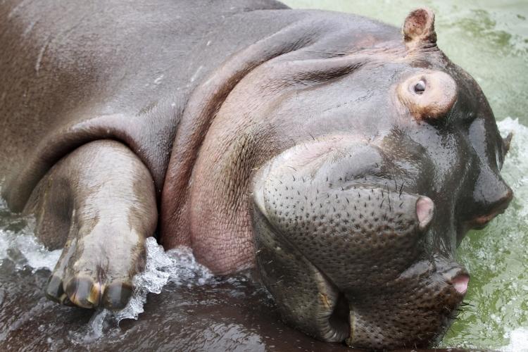 Фото жопа бегемота