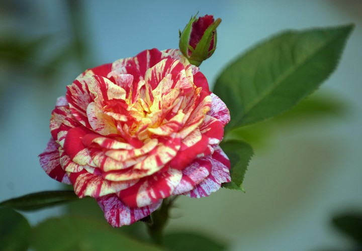 different types of roses - photo #10