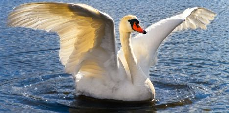 ugly duckling swan wwwpixsharkcom images galleries