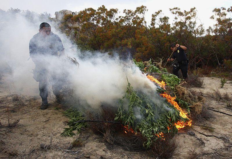 Сжигают коноплю хмель и коноплю