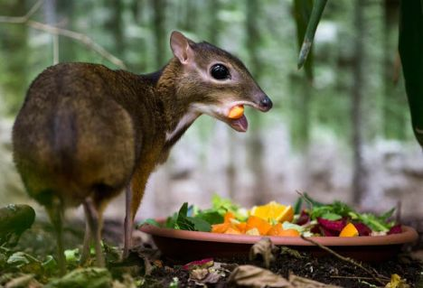 Baltic News Network – News from Latvia, Lithuania, Estonia » Endangered  mouse-deer born in Spanish zoo