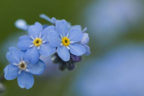 Lithuania Forget-me-not Conservative patent Lithuanian Farmers and Greens Union
