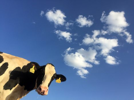CSP, pigs, cows, farmers, beef, production, statistics